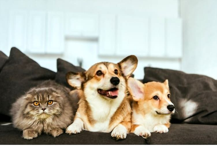 Corgi and British longhair cat on sofa at home