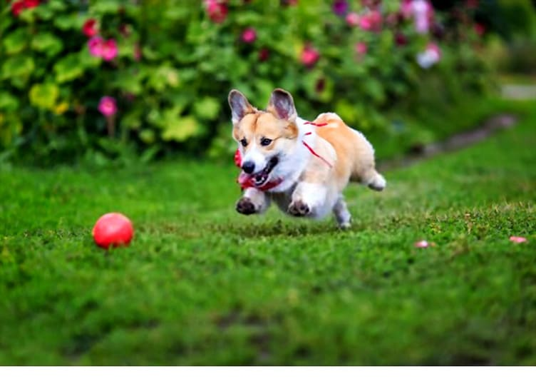 Corgi runs after a red ball on a green meadow