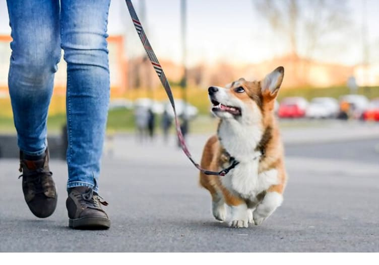 Corgi walks on a leash  with an owner