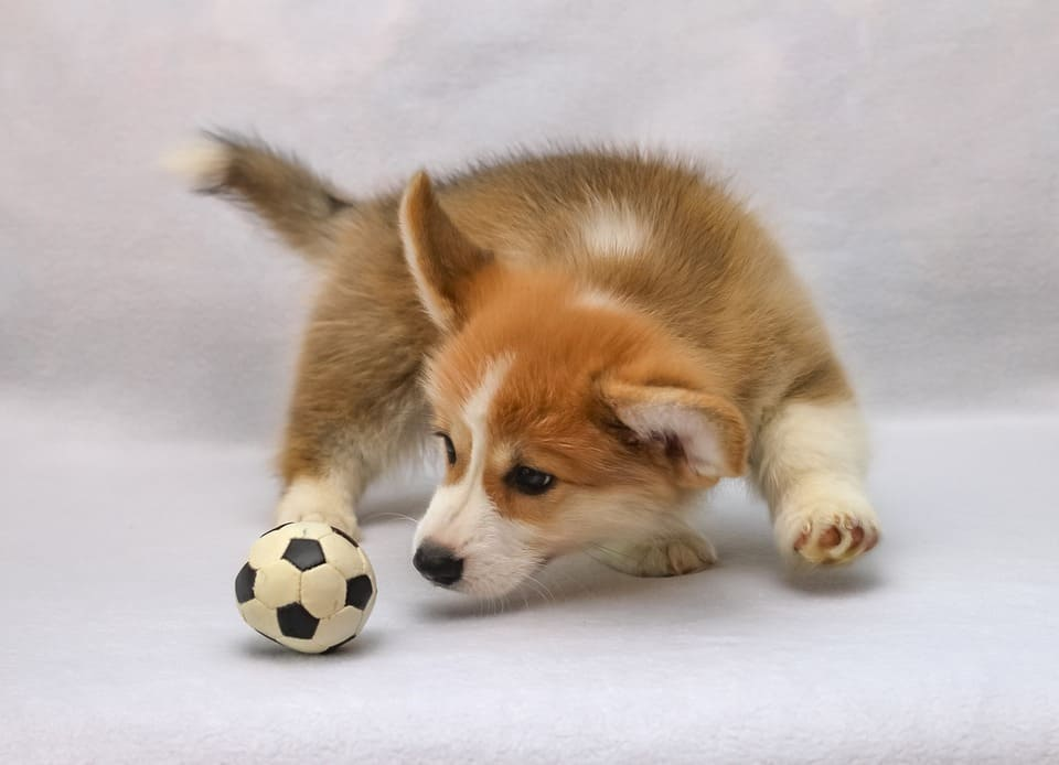 Welsh corgi pembroke play a ball