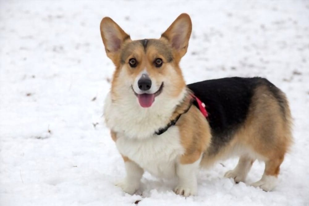 A Corgi is wearing a corgi dog collar
