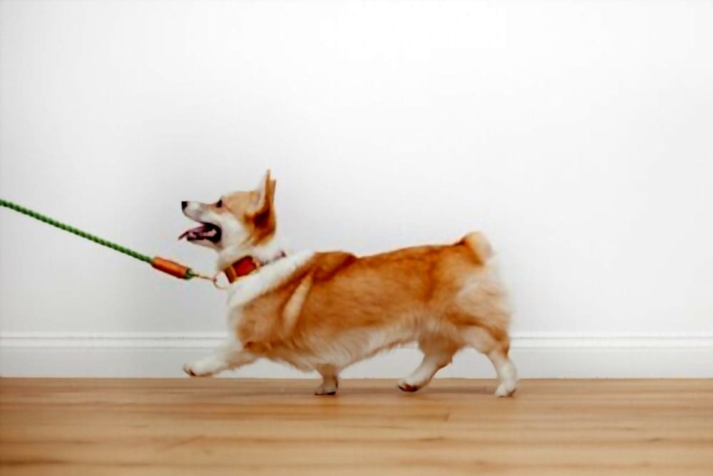 Pull your corgi with a dog collar