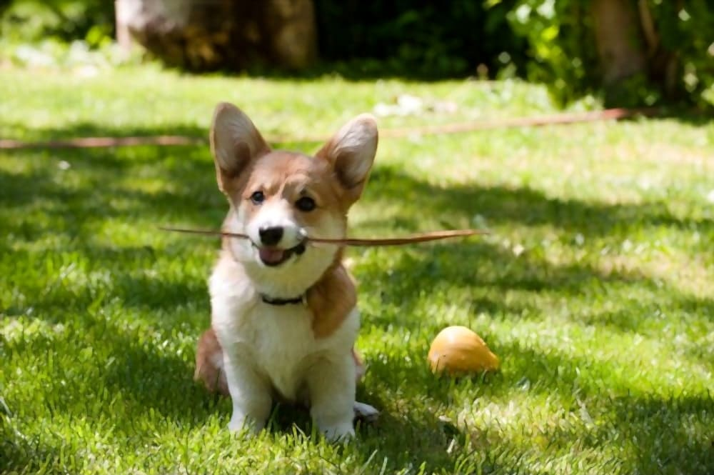 Welsh corgi pembroke puppy sitting with a stick in its mouth