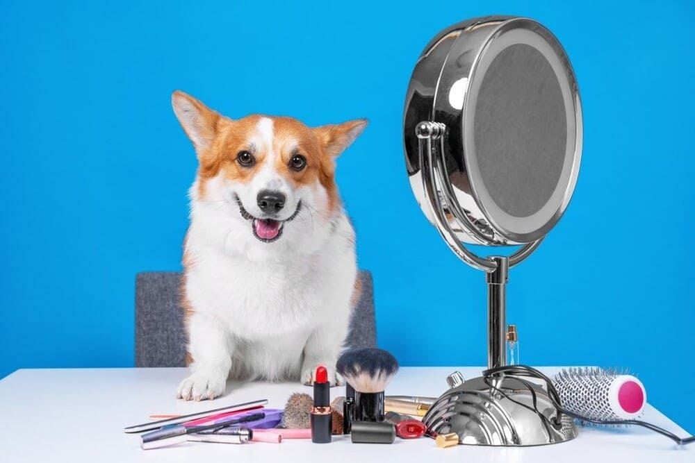 Cute Welsh Corgi Pembroke sits at a table with the unpacking of grooming tools
