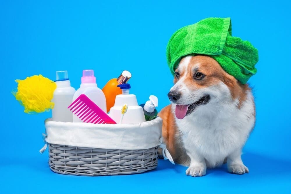 Corgi dog with a box of accessories for bathing