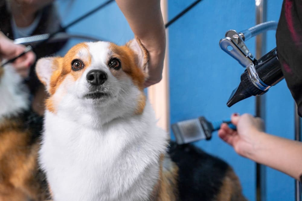 A welsh corgi pembroke dog, comb out with a special brush after shower in grooming salon.