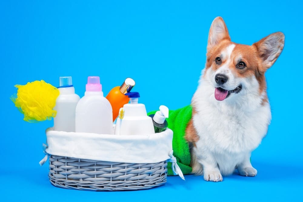 Corgi Pembroke dog with a box of accessories for bathing