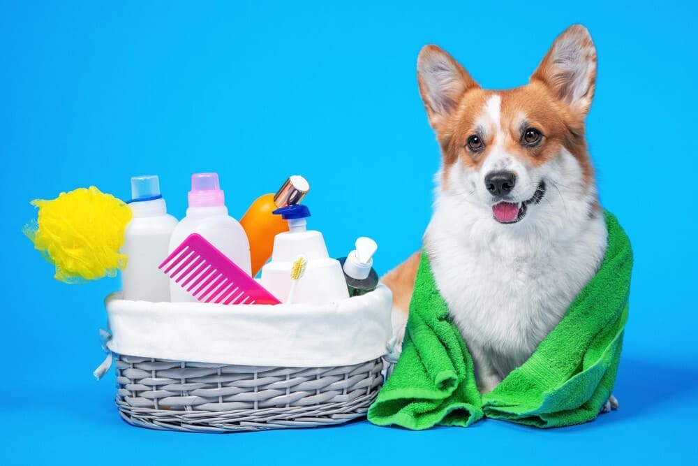 How to groom a corgi