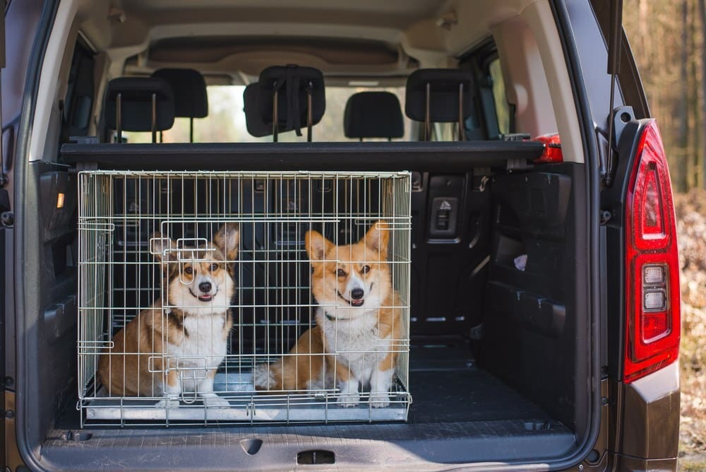 Two welsh corgi pembroke dogs sitting in the back of the car in a cage