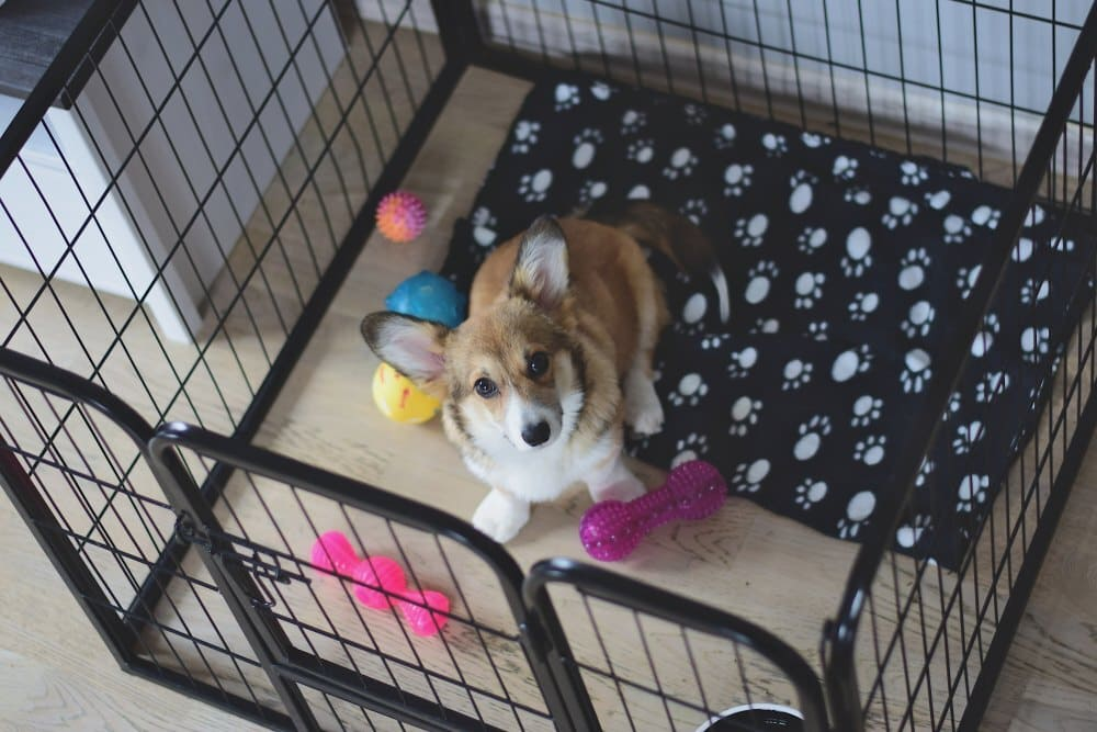 4 month old welsh corgi puppy in a crate during a crate training