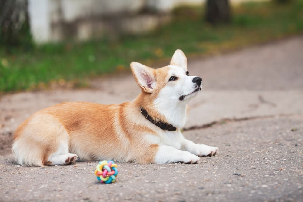 Corgi dog in the park, toys, accessories