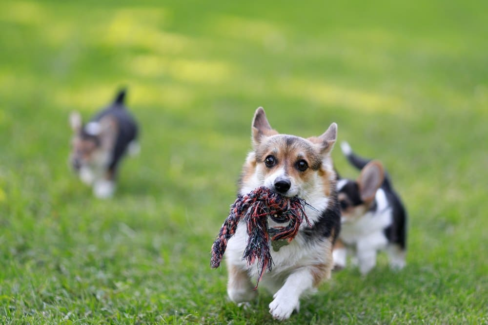 Best Toys for Corgis