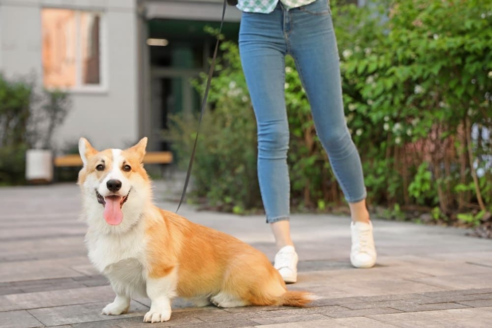 Woman with her Pembroke Welsh Corgi dog outdoors, using dog harness for her corgi