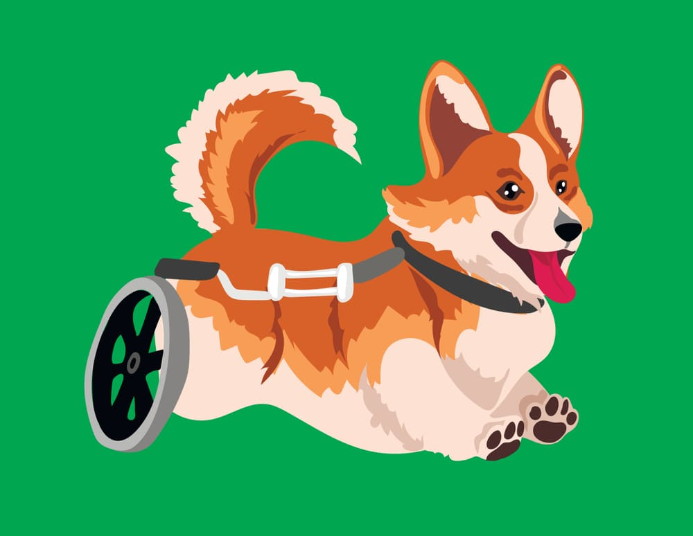 Happy Corgi in Wheelchair