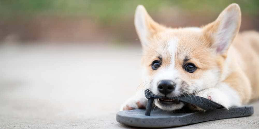 Teach your corgi stop chewing your furniture