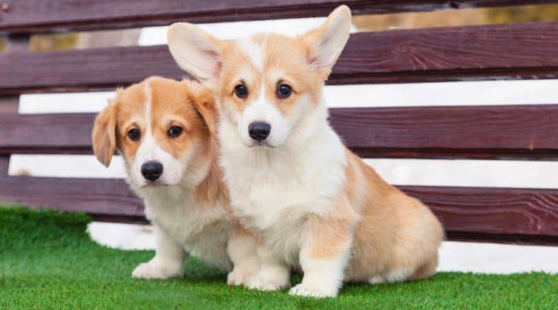 The Main Causes Of Corgi Skin Problems and How to Go About Them